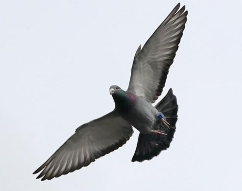 vallende duif 3327