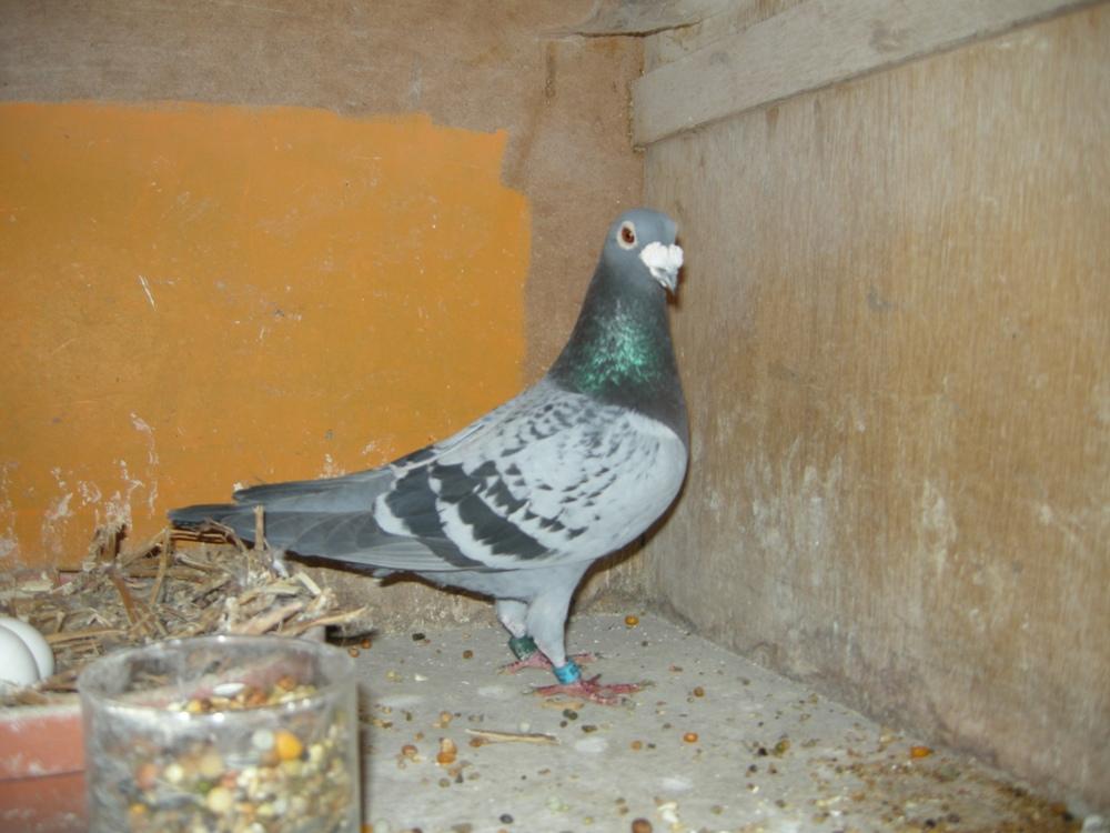 Barcelona 2013 winnaar duif