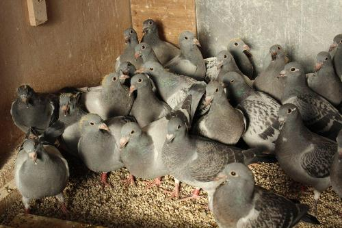 wouters wouters jonge duiven